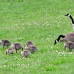 Canada Geese parents with their younglings.