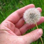 Dandelion seeds (I am considering making them into little glass-sphere necklaces).