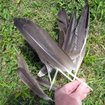 Naturally-molted Canada Geese tail feathers. Might make cool ink quills.