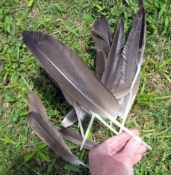 canada goose feather identification