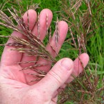 Smooth Brome Grass (The grasses here are as lovely as the flowers, in my humble opinion.)