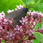 Milkweed with a Virginia Ctenuchid Moth feeding on its nectar.