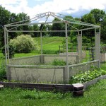 Old Gazebo re-purposed into a climbing garden with beans, cucumbers, and peas