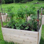 Raised planters with tomato plants